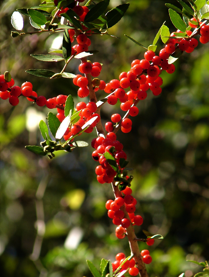 Bayou Lady: Yaupon Berries and Memories