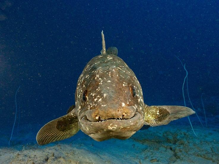 Coelacanth, Ikan Berusia 400 Juta Tahun yang Hidup di Indonesia