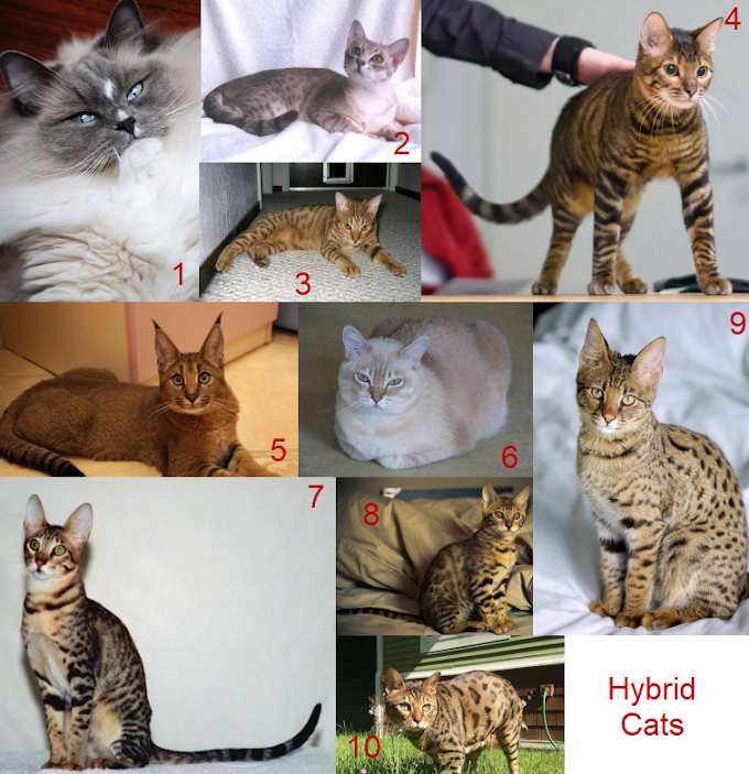 Top 10 Prettiest Hybrid Cats