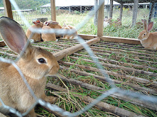 rabbit farming and  breeding , rabbit rearing