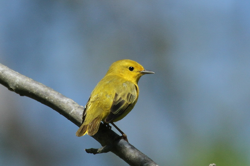 Yellow warbler florida breasted in