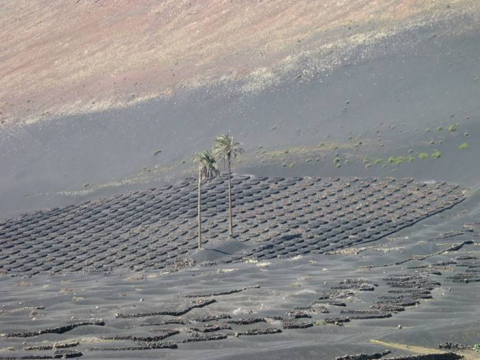 Volcanic vineyards of the island of Lanzarote