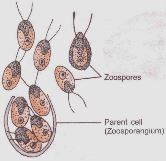 CBSE Class 12 NCERT Biology - Reproduction in Organisms (Zoospores of Chlamydomonas image)