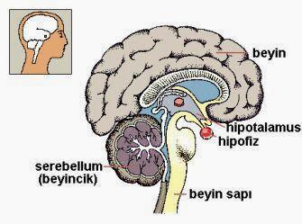 Hipotalamus bölgesini gösteren bir resim