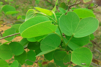 Dussehra leaves