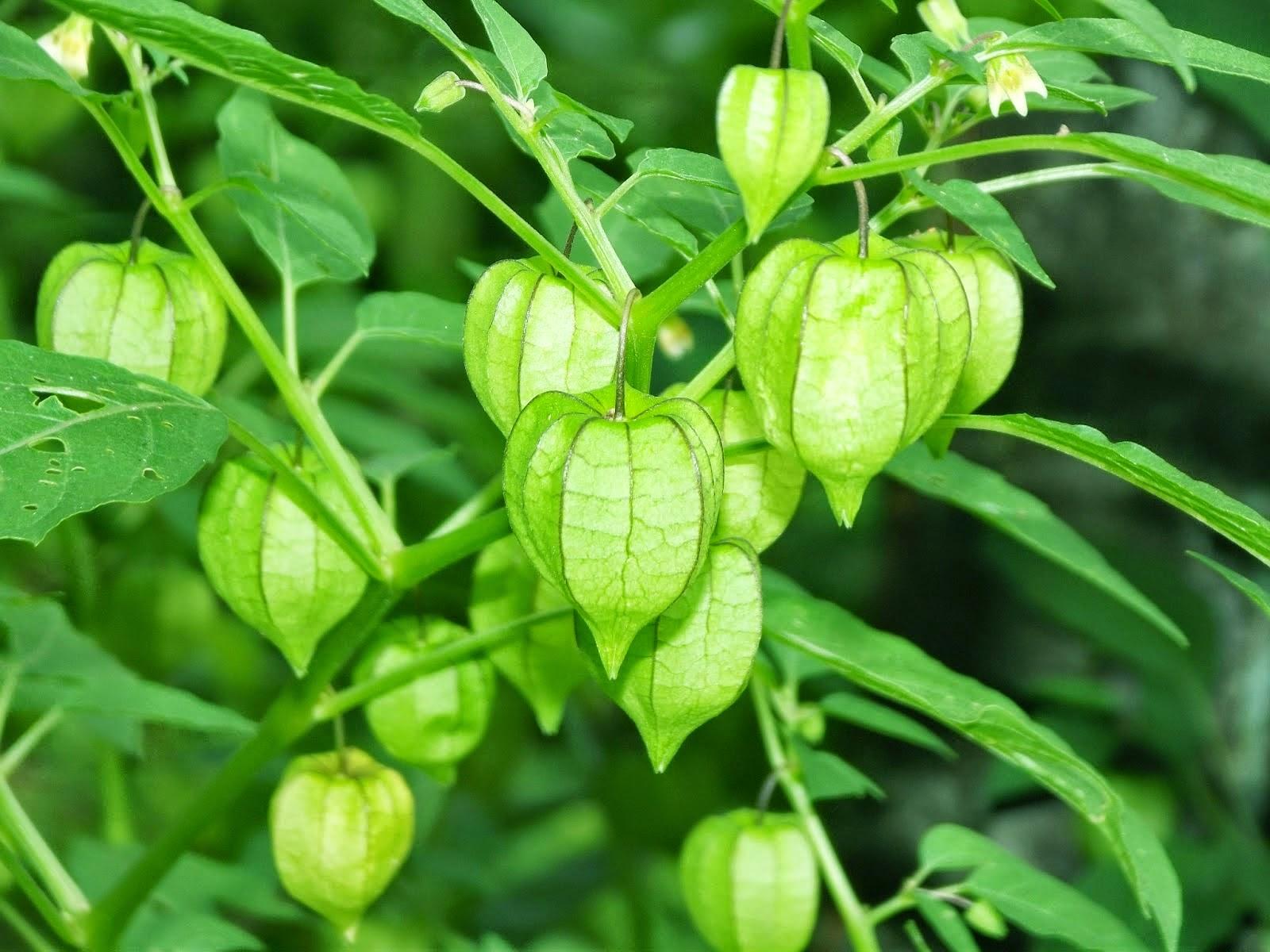 buah ciplukan untuk obat kanker