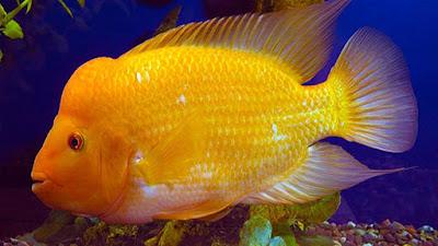 gambar ikan red devil berwarna kuning oranye