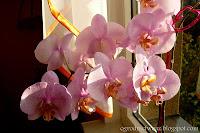 Falenopsis- Phalaenopsis