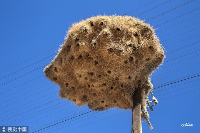 الأعشاش عملاقة  تصنعها طيور الويفر