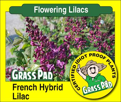 French Hybrid Lilac