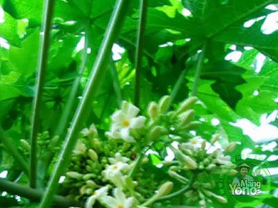 Pepaya Berbunga Jantan / Pepaya Gandul