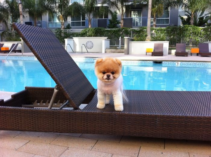 Must see Boo Army Adorable Dog - boo_Pomeranian_Dog_18  Perfect Image Reference_104270  .jpg