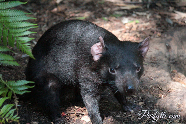 Tasmanian Devil's have whiskers