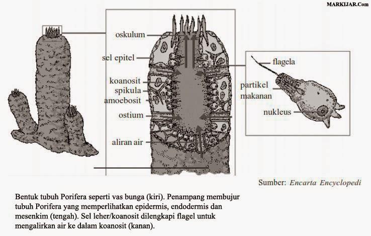 ciri hewan invertebrata, Porifera, Coelenterata, Platyhelminthes, Nemathelminthes, Annelida.