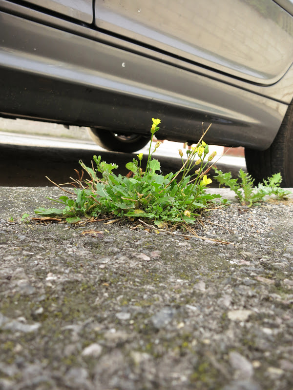 A small, green, plant with yellow flowers, growing in tarmac beside wheels of car.