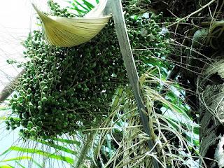 Cacho de Butiás - Jardim Botânico de Porto Alegre