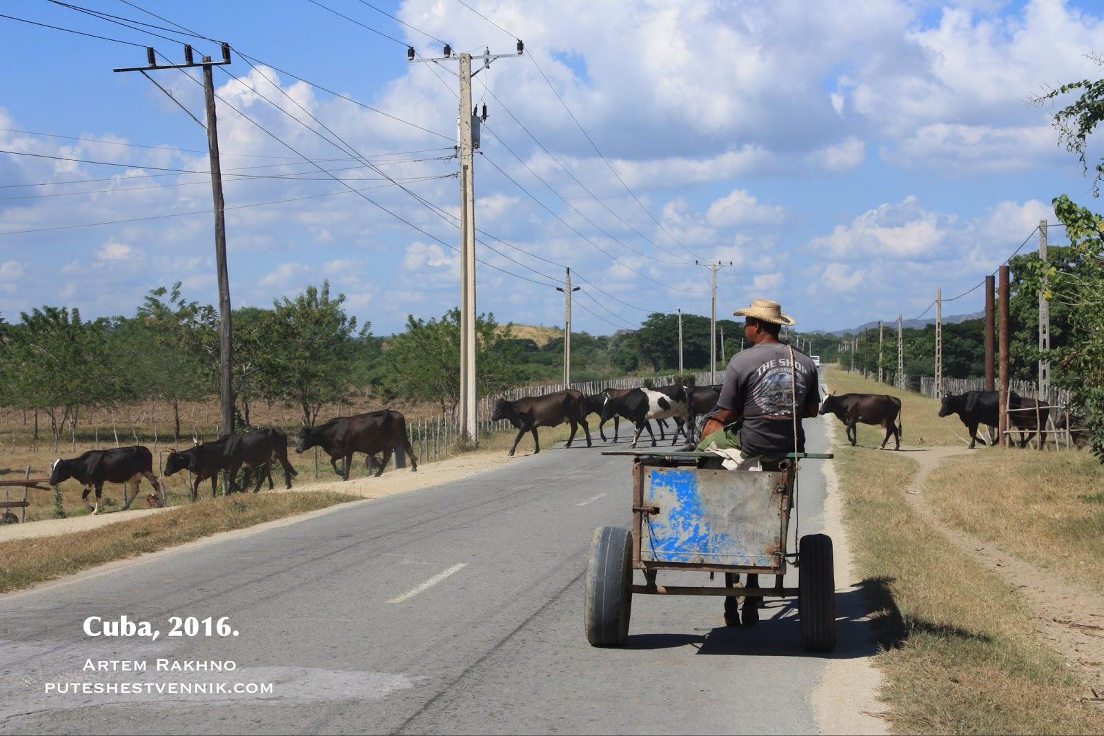 Коровы переходят дорогу на Кубе