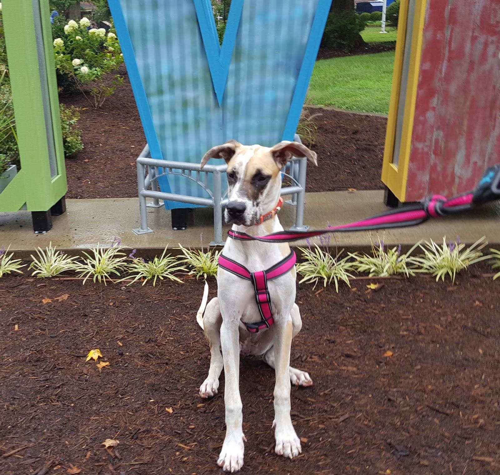 Great Dane Fawnequin Friday's Friend! Dog A...