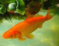 Klasifikasi Dan Morfologi Ikan Mas