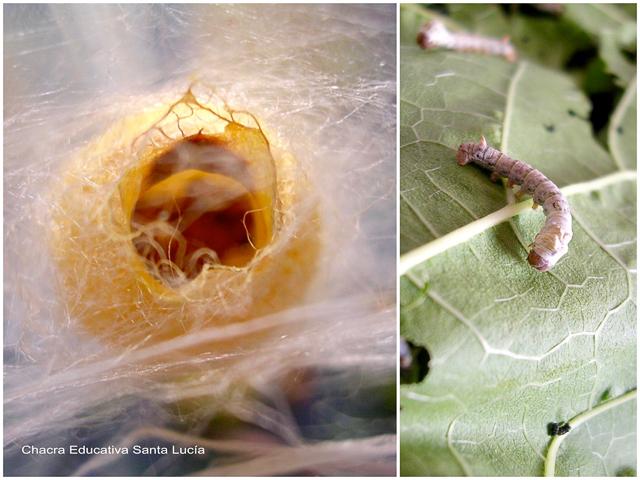Capullo abierto y gusanos de seda - Chacra Educativa Santa Lucía