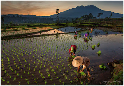 SLC-1L-11: Planting Rice at Sunrise