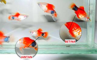 Cara Membedakan antara ikan platy jantan dan betina secara mudah