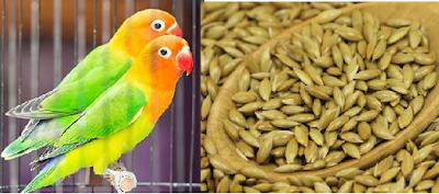 supaya memperoleh hasil sesuai dengan impian Manfaat Canary Seed Untuk Lovebird (Meningkatkan Produksi Ternak Lovebird)