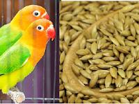 Manfaat Canary Seed Untuk Lovebird (Meningkatkan Produksi Ternak Lovebird)