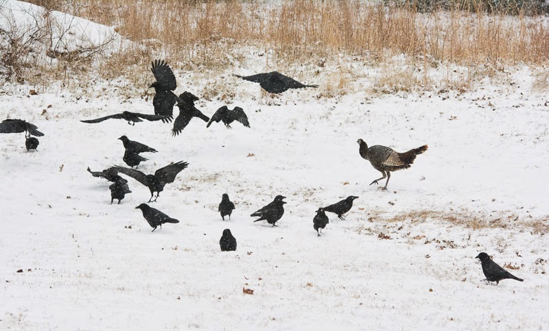 Turkey and crows in the snow