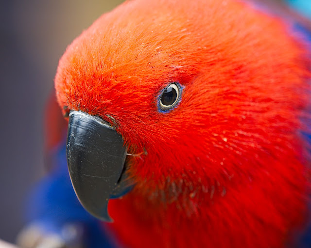 Portrait eines roten Papageies