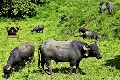 Buffalo from the Bufalera Gibraltar farm, located between the towns of Marsella & Chinchiná on Colombia's Caldas-Risaralda border.