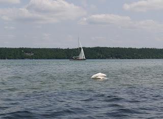 Schwan über der Pfahlbausiedlung vor der Roseninsel im Starnberger See