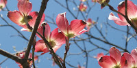 Silent witnesses … early spring blossom is a sign of climate change. (Image Credit: bwrabbitgirl via Flickr) Click to Enlarge.