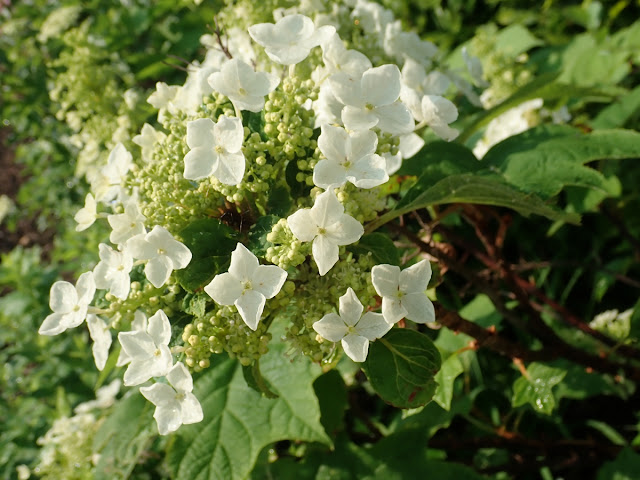 Flower panicles blooming on oakleaf hydrangea (Hydrangea quercifolia)