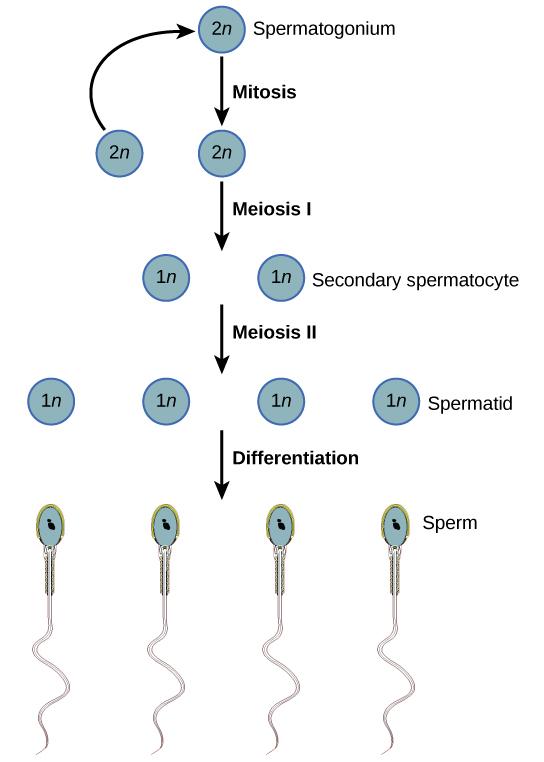Fase Spermatogenesis Pada Manusia