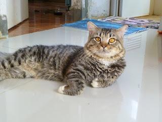 Tips Menggemukkan Kucing Kampung Dengan Cepat
