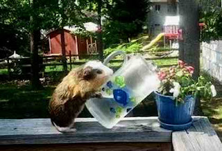 Guinea pig waters plants
