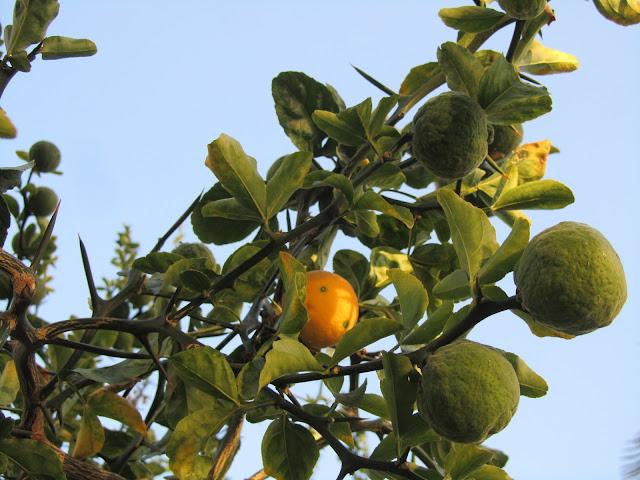 Frutti Immaturi Arancio Trifogliato