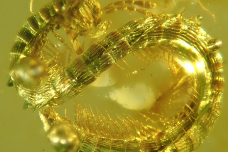 Dinosaur-era Amber Discovered with 'Unexpected' Millipede Species Inside