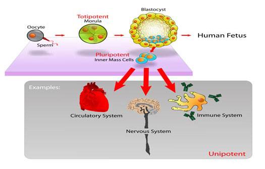Pengobatan Stem Cell Sel Punca