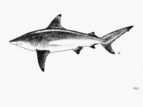 Animals of the world: Graceful shark