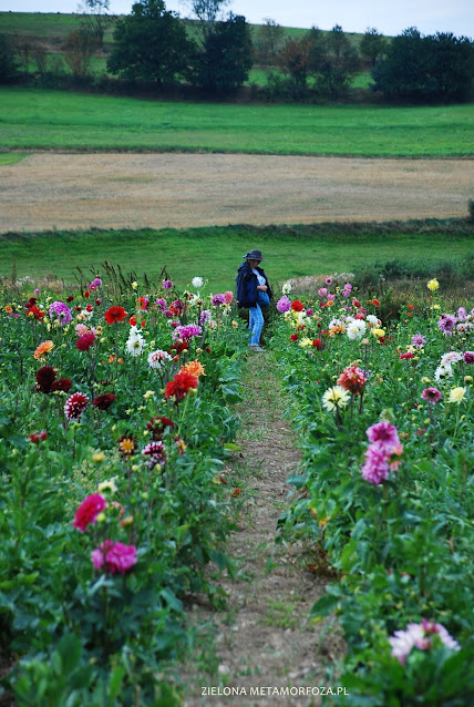 kwiaty do ogrodu wiejskiego dalia