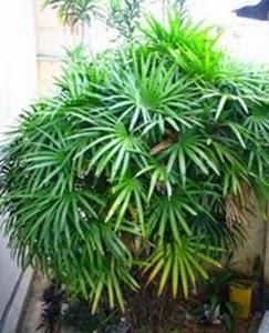 Tanaman Hias Palem Bambu dapat membersihkan udara dalam ruangan