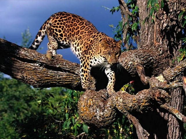 wallpaper amur leopard animal - photo #3