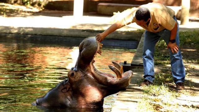 Matan a golpes a Gustavito, el único hipopótamo de El Salvador