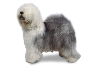Everything about your Old English Sheepdog