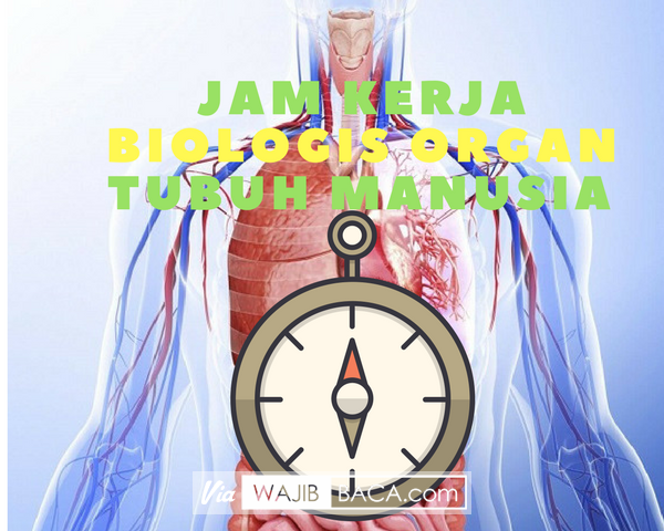 Jarang Yang Tahu Padahal Penting Bagi Kesehatan, Jam Kerja Biologis Organ Tubuh Manusia
