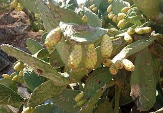 Opuntia med frukt