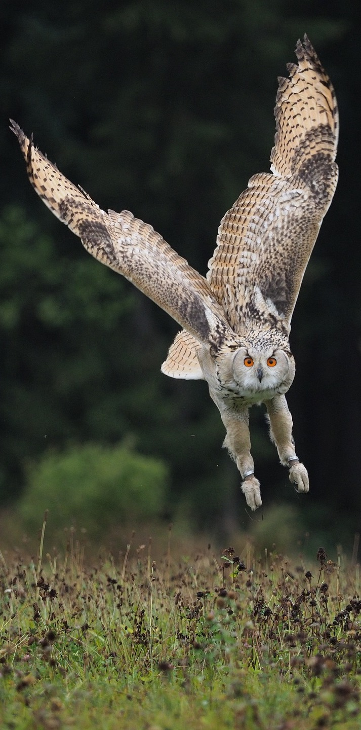Picture of an owl in flight.