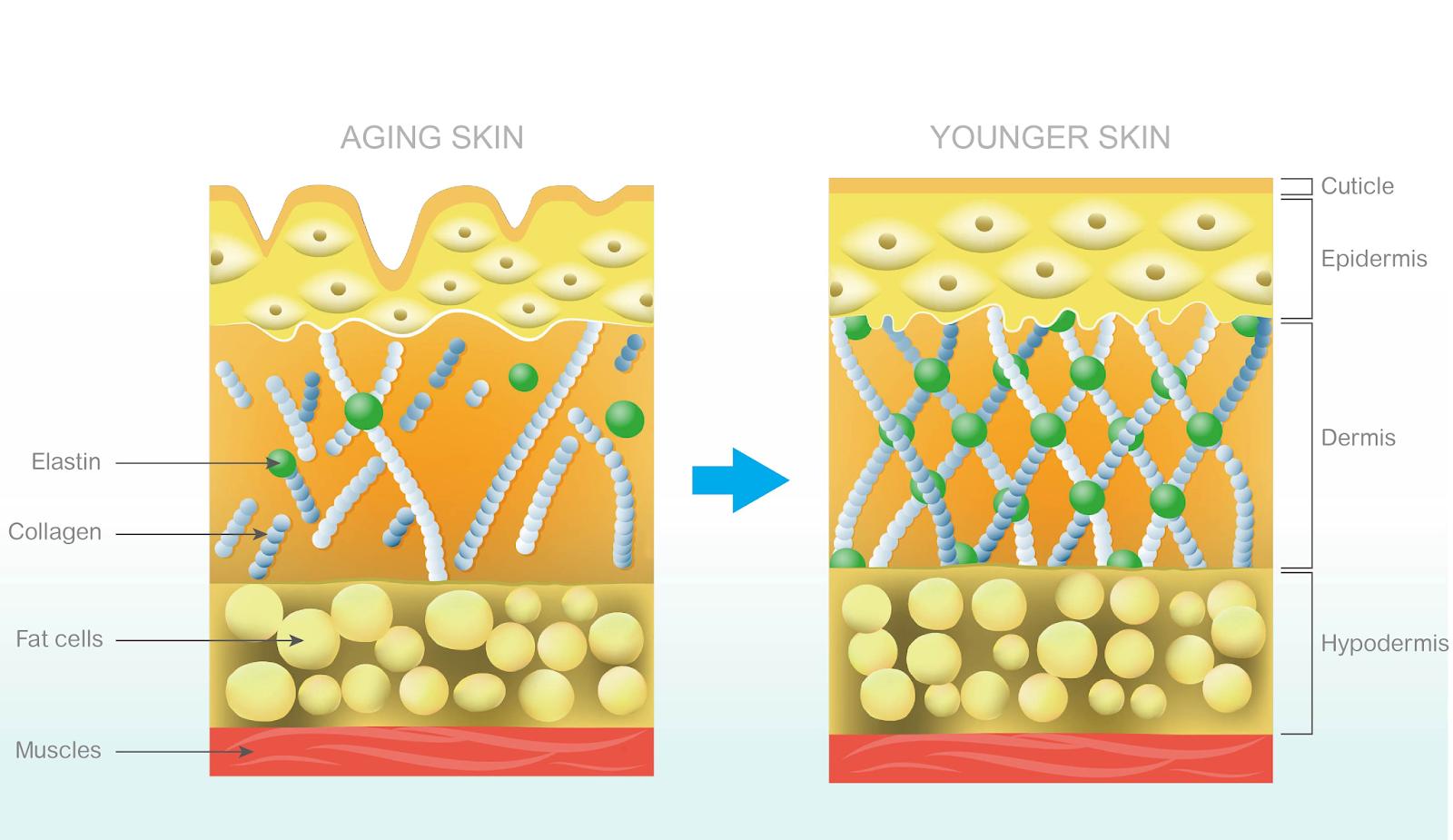 fungsi kolagen untuk kulit